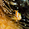 Clown3 With Anemone by Dan Norton