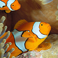 Clownfish by Dave Fleetham - Printscapes