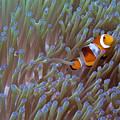 Clownfish by Gary Hughes