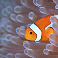 Clownfish In White Anemone by Alastair Pollock Photography