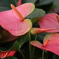Cluster Anthurium by Tammy Pool