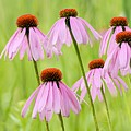 Cluster Of Cone Flowers by Larry Ricker