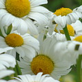 Cluster Of Daisies by Barbara St Jean