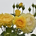 Cluster Of Yellow Roses by Linda Brody