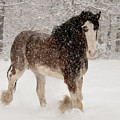 Clydesdale In The Snow by Kristia Adams