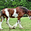 Clydesdale by John Trommer
