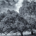 Coast Live Oak Monochrome by Randy Herring