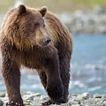Coastal Brown Bear by Brian Magnier