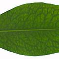 Coca Leaf, Erythroxylon Coca by Ted Kinsman