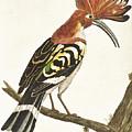 Cock Hoopoe by Eleazar Albin