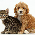 Cockapoo Puppy And Tabby Kitten by Mark Taylor