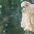 Cockatoo by Mark Van Martin