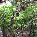 Cocoa Tree With Ripe Cocoa Pods by Cynthia Iwen