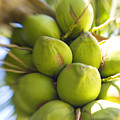 Coconut Bunch by Ron Dahlquist - Printscapes