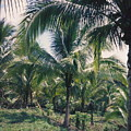 Coconut Farm by Debbie Levene