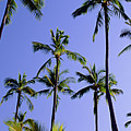 Coconut Grove At Wailua by Carl Shaneff - Printscapes