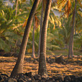 Coconut Palm Grove by Greg Vaughn - Printscapes