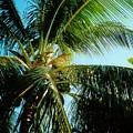 Coconut Tree by Debbie Levene