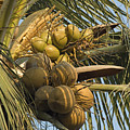 Coconuts Cluster At Los Tules Resort by Rich Reid