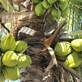 Coconuts by Michelle Powell