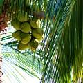 Coconuts by Rosanne Licciardi