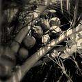 Coconuts by Susanne Van Hulst