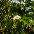 Coffee Cherries by Pamela Newcomb