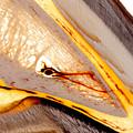 Coffin Bone Plastination With Vascularisation Anatomical Details by Christoph Von Horst