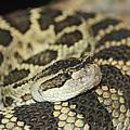 Coiled Rattlesnake by Marv Vandehey