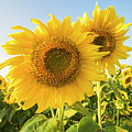 Colby Farms Sunflower Field Closeup by Toby McGuire
