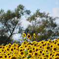 Colby Farms Sunflower Field Newbury Ma Standing Tall by Toby McGuire