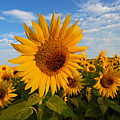 Colby Farms Sunflower Field Newbury Ma Sunrise by Toby McGuire