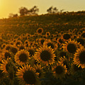 Colby Farms Sunflower Field Newbury Ma Sunset by Toby McGuire