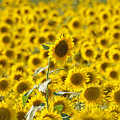 Colby Farms Sunflower Field Newbury Ma by Toby McGuire