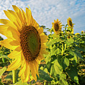 Colby Farms Sunflower Field Side by Toby McGuire