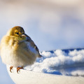 Cold American Goldfinch by Al  Mueller