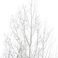 Cold Birch by Monte Arnold