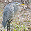 Cold Blue Heron by Phill Doherty
