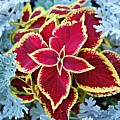 Coleus And Dusty Miller by Barbara Woodson