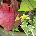 Coleus And Ivy by Jean Macaluso