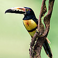 Collared Aracari Pteroglossus by Panoramic Images