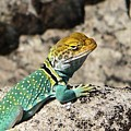 Collared Lizard by NaturesPix