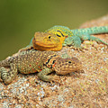 Collared Lizards by Sherry Adkins