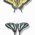 Collection Of Two Butterflies by Masha Batkova