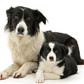 Collie And Son by Warren Photographic