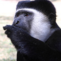 Colobus Monkey by Aidan Moran
