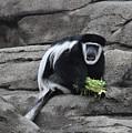 Colobus Monkey by Flo McKinley
