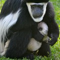 Colobus Monkey With Baby by Richard Bryce and Family