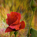 Color Explosion - Rose - Floral by Barry Jones