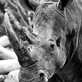 Color Me Rhino by John Haldane